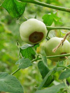 Blütenfaule an Tomaten (1)